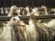 A quoi ressemble le gavage des canards en Wallonie