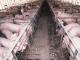 Ontdekking varkenspest treft vleesexport