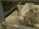 Au marché aux bestiaux de Ciney, on négocie encore en francs