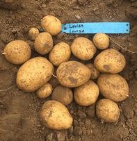 """Apaq-W présente la nouvelle pomme de terre écologique et locale """"Louisa"""" au salon Interpom"""