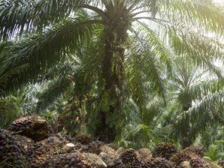 Duurzame palmolie in België: zijn we er al? De stand van zaken