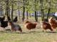 Pluimveeslachterij Lammens vangt bot bij Raad van State