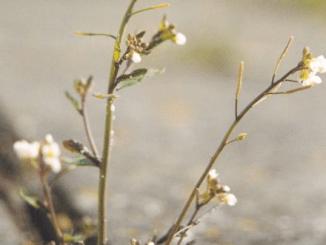 Belangrijk enzym in planten-immuniteit geïdentificeerd