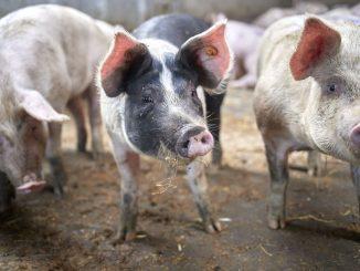 Reststromen van Colruyt zijn voeder voor varkens