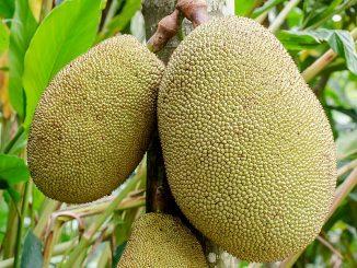 Nangka of jackfruit: een nieuwe vleesvervanger?