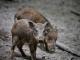 La peste porcine coûte un demi-milliard d'euros au secteur