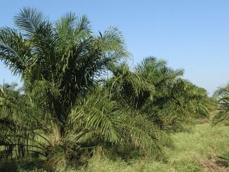 Biodiesel en varkenspest doen palmolie floreren