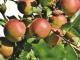 Intelligent fruit moet de veiligheid van de oogst garanderen