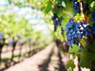 België: nieuw wijnland?