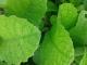 Nieuwe aandeelhouders gezocht voor Stevia One